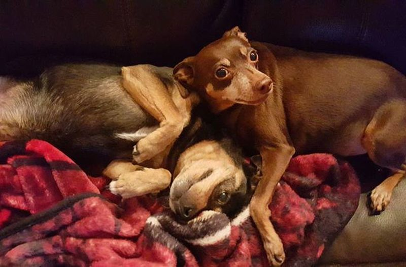 💕🐕🐶🐾 Myfourleggedchildren Minpins Dogsofinstagram Rescuedogs Ilovemyrescue Cuddlebugs Love Cute Puppies Miniaturepinscher Hercandzoe Furbaby