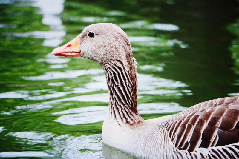 ~ duck ~ Animal