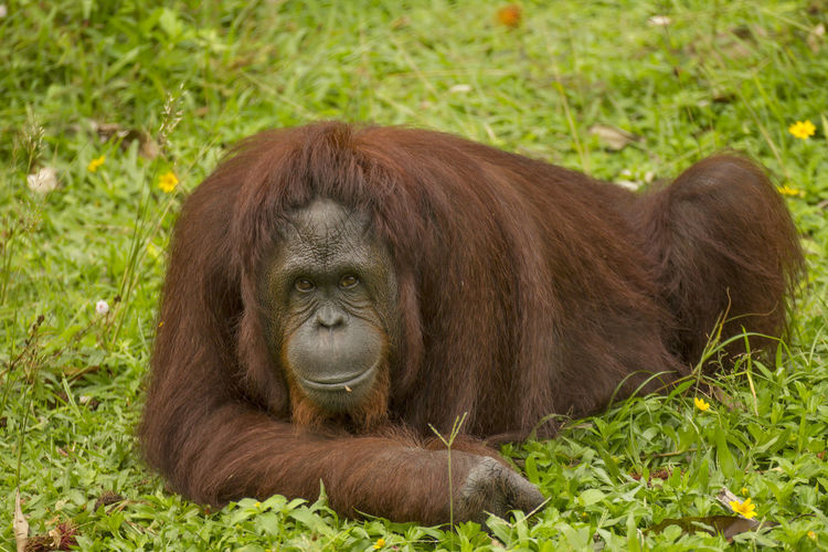 Animal Animal Themes Animal Wildlife Animals In The Wild Ape Grass Green Color Land Lying Down Mammal Monkey Nature No People One Animal Orangutan Plant Portrait Primate Relaxation Vertebrate Zoo