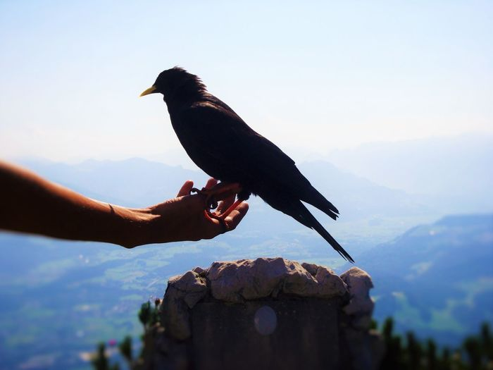 Side view of blackbird perching on hand overlooking landscape