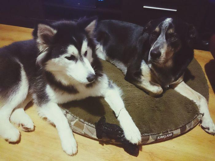 Pets Dog TK Maxx Socksie Siberian Husky Chewing Sock Indoors  Bad Dog