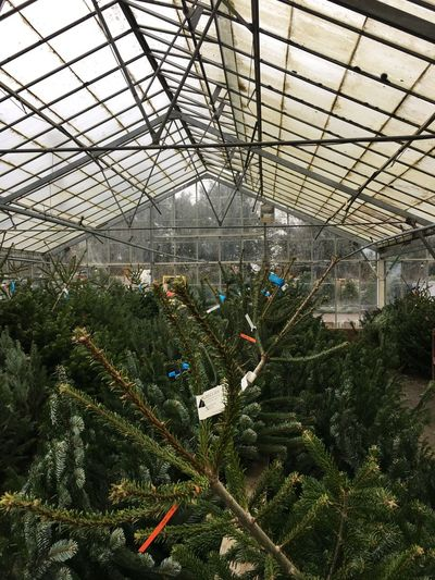 Christmas tree nursery - picking Christmas Trees Christmas Christmas Trees Day Festive Garden Centre Green Color Greenhouse Growth Indoors  Nature Nature No People Nursery Picking A Tree Pine Plant Plant Nursery Spruce