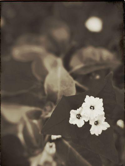 Sepia Brown Alternative Process Van Dyke Brown Flower