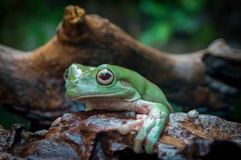 A cute frog hangs on a brown wood