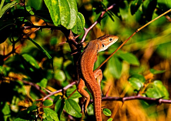 Lizard in the forest Botany Close-up Green Leaf Lizard Lizard Nature Nature One Animal Reptile Wildlife
