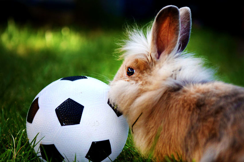 Footie Fan Pet Portraits Playtime Animal Themes Ball Close-up Day Domestic Animals Football Fan Grass Mammal Nature No People Outdoors