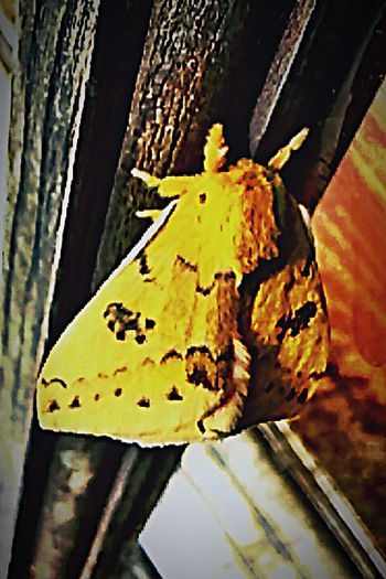 Magic My Favorite Photo Mother Nature Oklahoma Nature Mothernature Eyem Gallery EyeEm Gallery Springtime Insect Macro  Insect Photo Insects Collection Insect_perfection Insects  Insect Insect Photography Yellow Tiger Moth Moth EyeEm Nature Lover