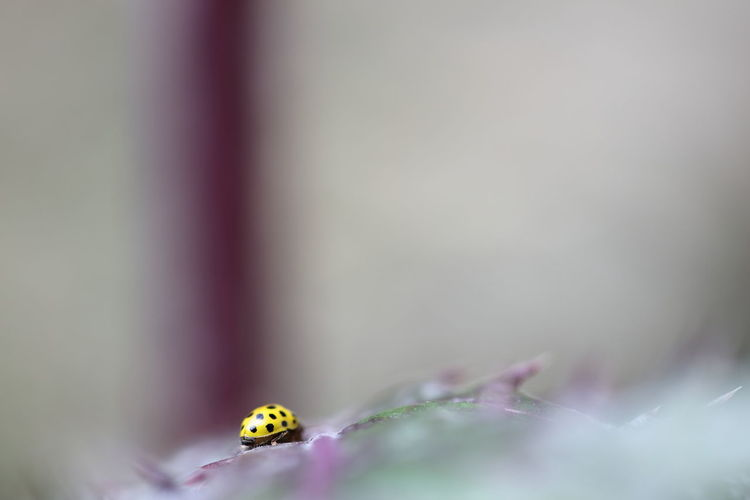 Botany Close Up Fragility Freshness Hello World Insect Ladybeetle Ladybug Macro On The Hunt. Petal Searching Searching For Food Selective Focus Showcase June Twig Fine Art Photography