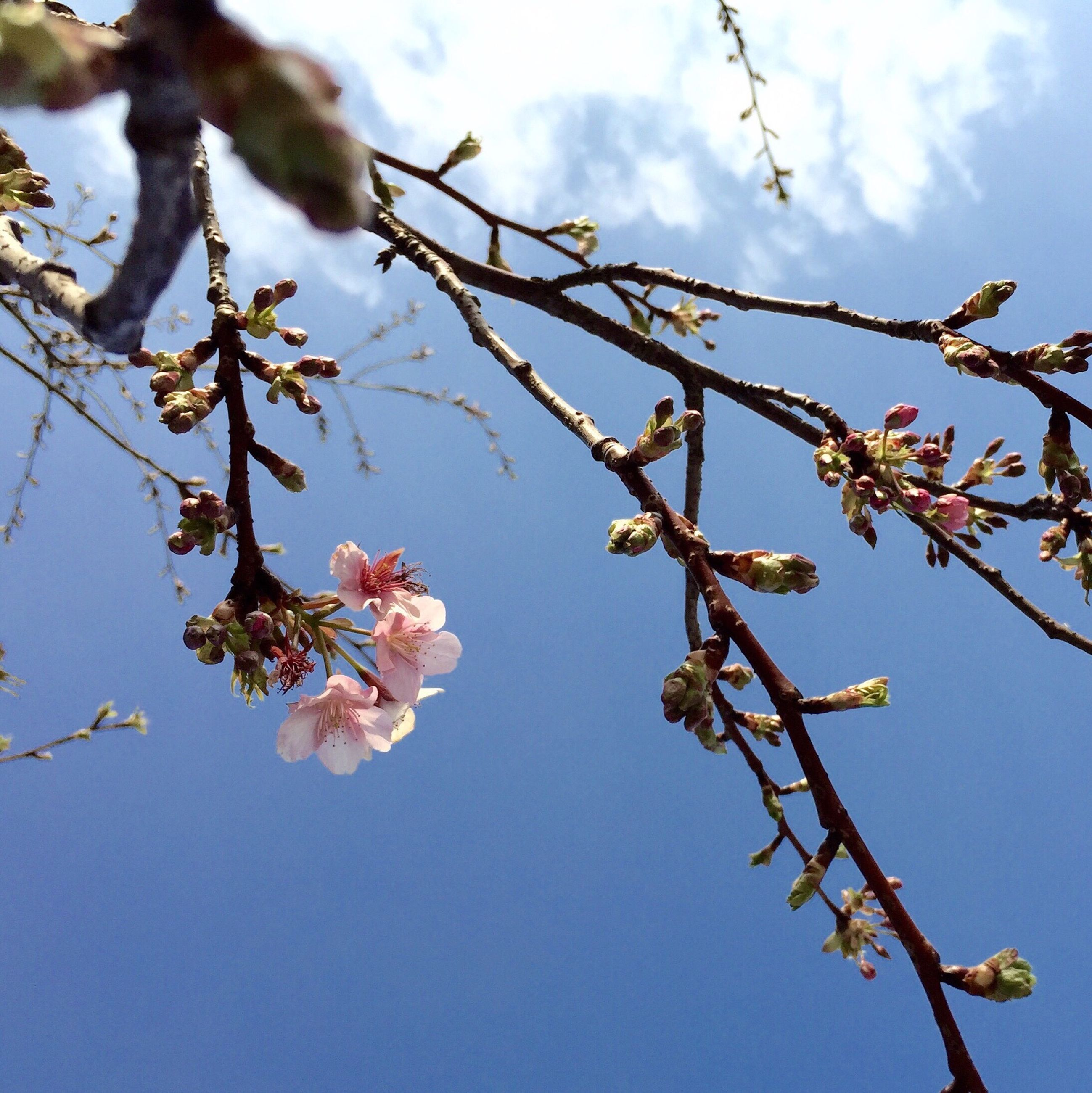 branch, low angle view, tree, flower, growth, sky, freshness, nature, beauty in nature, twig, fragility, blossom, clear sky, cherry tree, blue, day, cherry blossom, outdoors, springtime, leaf