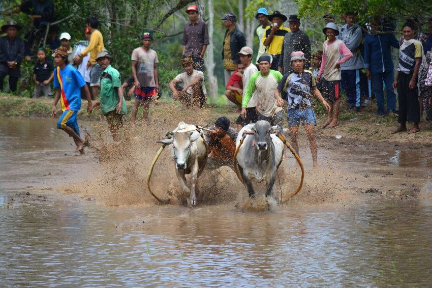 The Color Of Sport Traditional Sport of Bull Race or Pacu Jawi Race at Paddy Field Man Vs Beast Tanah Datar INDONESIA Large Group Of People Water Men Person Cultures Domestic Animals Bull Mammal Livestock Tourist Day Tourism Domestic Cattle