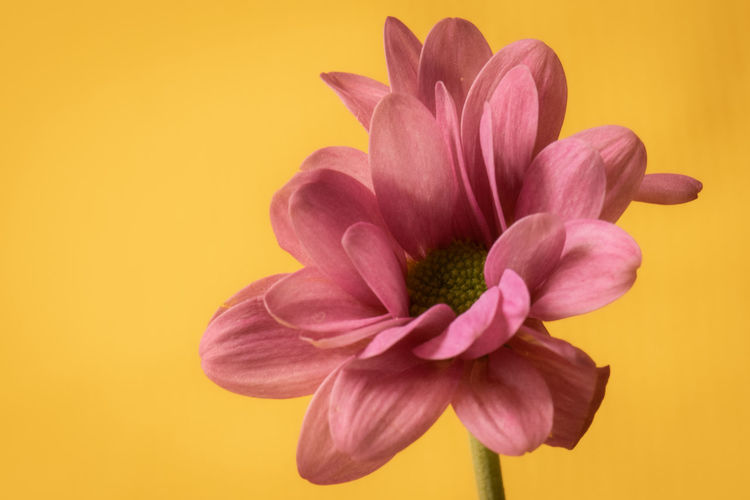Close-up of pink flower against yellow background