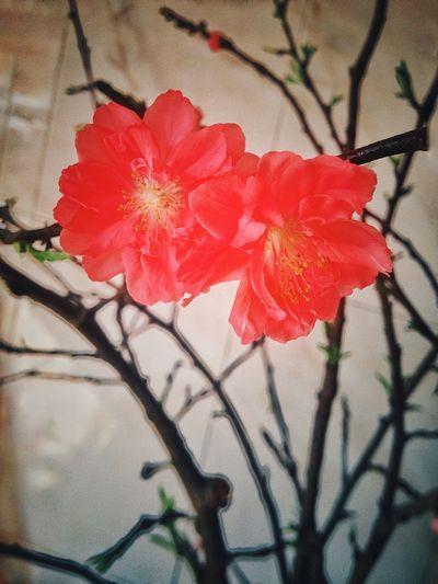 Hoa đào năm