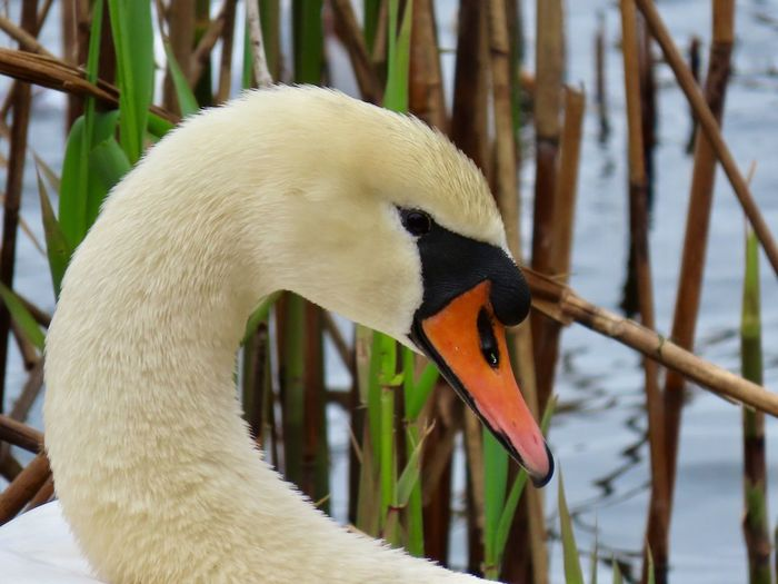 Mute swan headshot closeup Birds of EyeEm beauty in nature focus on the foreground outdoors Animal Wildlife Animal Themes One Animal Bird Side View No People
