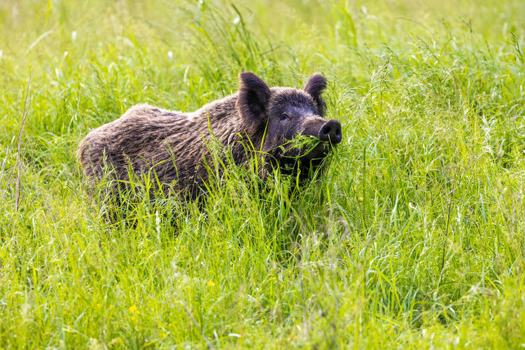 Portrait of an animal in grass