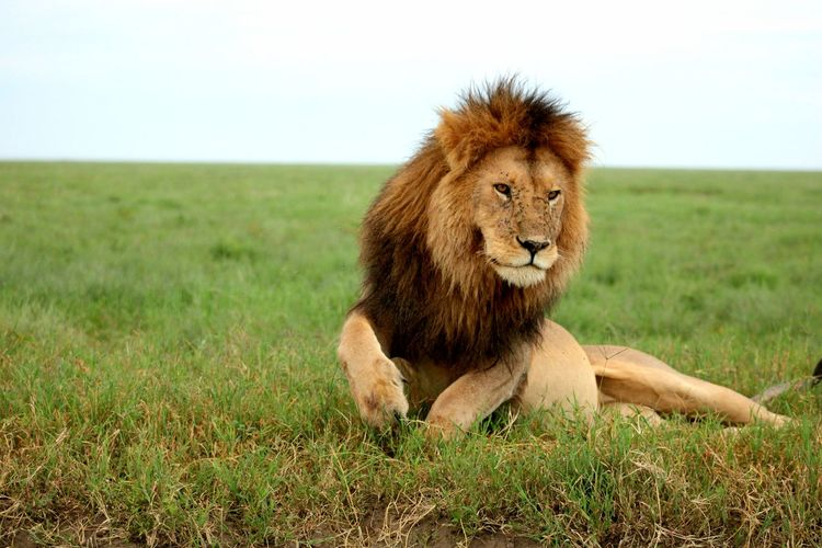 Lion sitting in a field