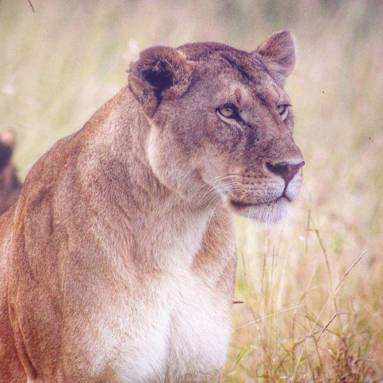 Lioness Portrait Portrait Lioness Sallystevens Canonphotography EyeEm Nature Lover Wildlifephotography Bestoftheday Wildlife & Nature Africa Africananimals