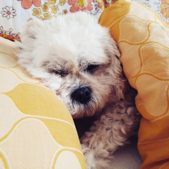 Lying Down Domestic Animals Resting Sleeping