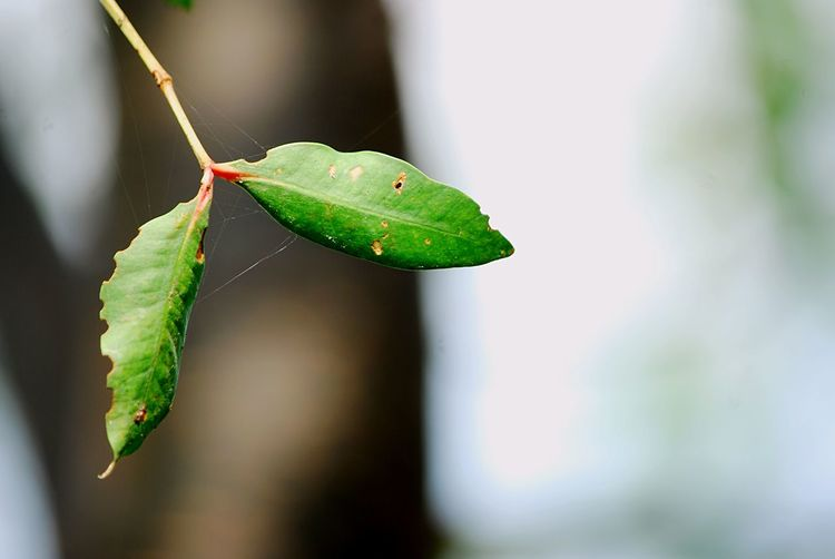 Leaves EyeEm Selects Leaf Plant Part Green Color Close-up One Animal Insect Beauty In Nature Selective Focus Outdoors No People Day Nature Focus On Foreground
