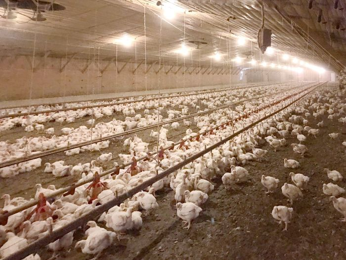 Chicken farm. Chickens chickenfarm Chickenfarmer Farm Life Meat Production Meat Farm Birds