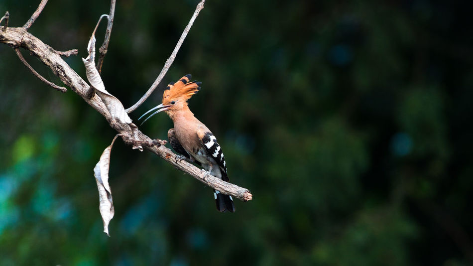 Common Hoopoe bird in nature. Animal Themes Animal Wildlife Animals In The Wild Beauty In Nature Bird Branch Close-up Day Focus On Foreground Full Length Mammal Nature No People One Animal Outdoors Perching Tree Twig