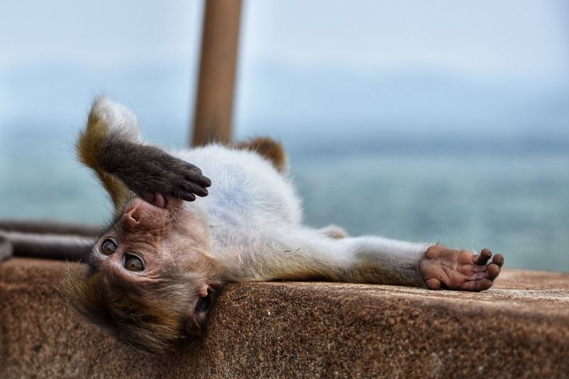 Monkey Animal Animal Themes Focus On Foreground Sea Animals In The Wild Mammal Relaxation