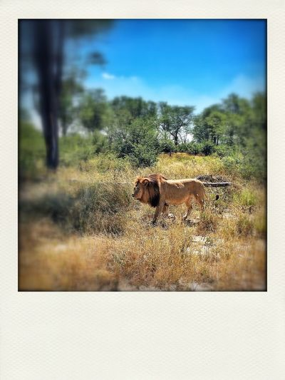 Game Drive Okavango Delta Animals first Lion Nambw2014