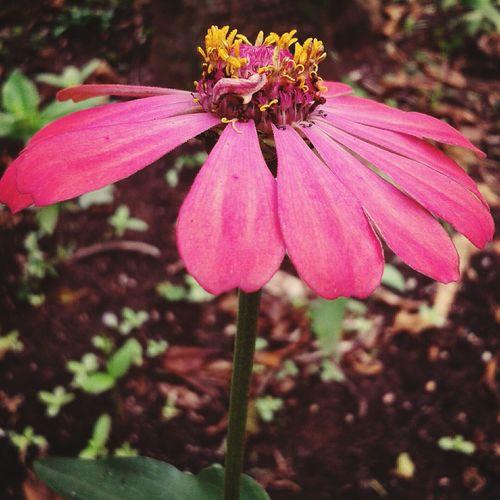 Flowers Flower Pink Flower Beautiful Nature
