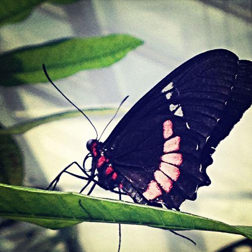 Butterfly Blumeninsel Mainau