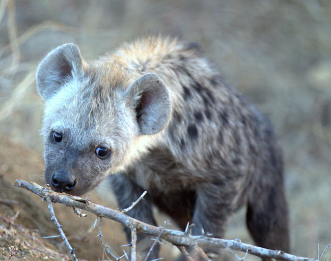 Animal Themes Animals In The Wild One Animal Mammal Close-up No People Hyena Pup Hyenapup