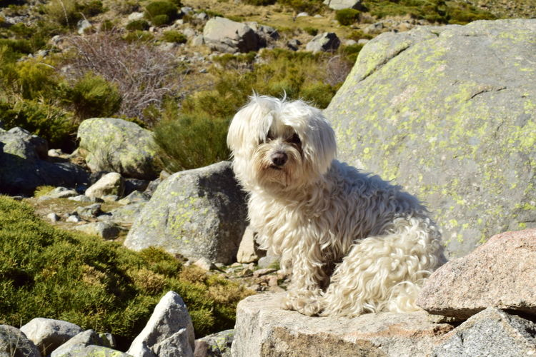 Animal Themes Bichon Dog Domestic Animals Maltese Maltese Dog Mammal Nature Nature Photography Nature_collection No People One Animal Outdoors Pets Puppy Rock - Object Sitting