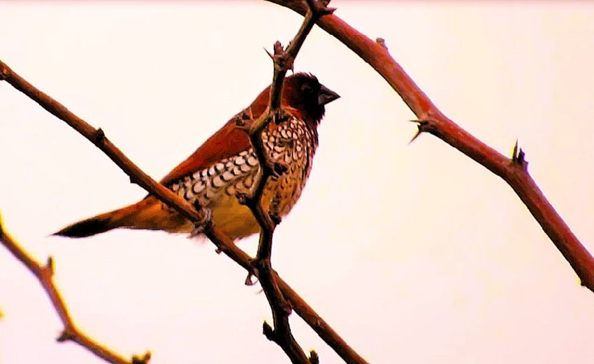 Rarest Indian Bird Nature Rare Indian Bird Animal Themes Animal Wildlife Animals In The Wild Beauty In Nature Bird Branch Close-up Day Full Length Indian Birds Nature No People One Animal Outdoors Perching Tree Twig