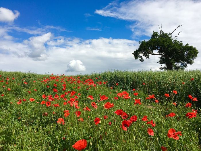 Taking Pictures Taking Photos Landscape Poppy Flowers Summertime Summer ☀ Blue Sky Walking Around Iphonephotography