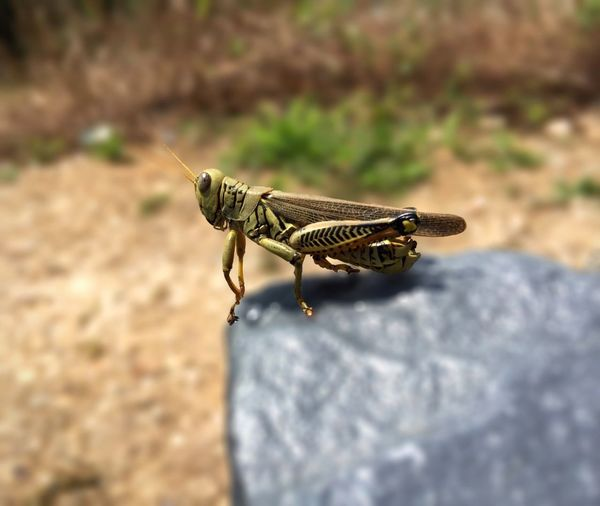 Close-up of grasshopper on rock