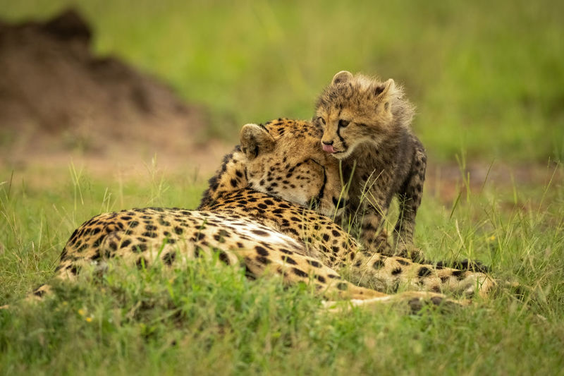 Cheetah cub licks lips standing by mother