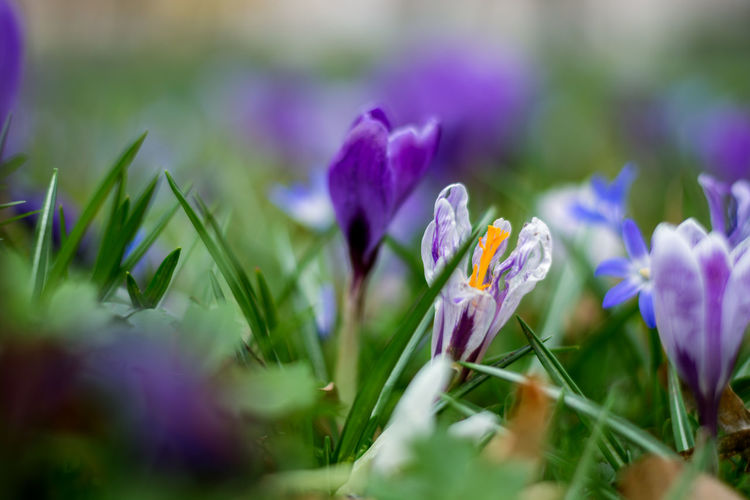 Flowering Plant Flower Plant Freshness Beauty In Nature Selective Focus Vulnerability  Growth Fragility Purple Close-up Petal Nature Inflorescence Flower Head Field Outdoors Day Land No People Iris Springtime Crocus Flowerbed