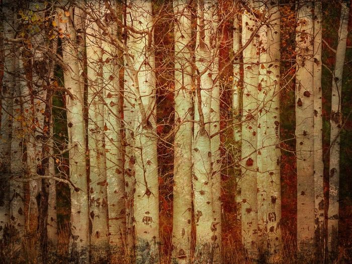 Abstract Tree Forest Textured  Nature No People Outdoors Backgrounds Close-up Day Aspen Trees Autumn Autumn Glory Textures Tree Trunks