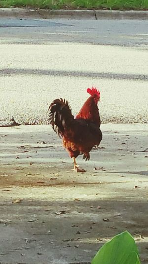 Rooster Rooster Chicken - Bird Livestock Domestic Animals Agriculture Bird Poultry Farm Animal Outdoors One Animal No People Red Animal Themes Close-up Rural Scene Animals On Concrete EyeEmNewHere