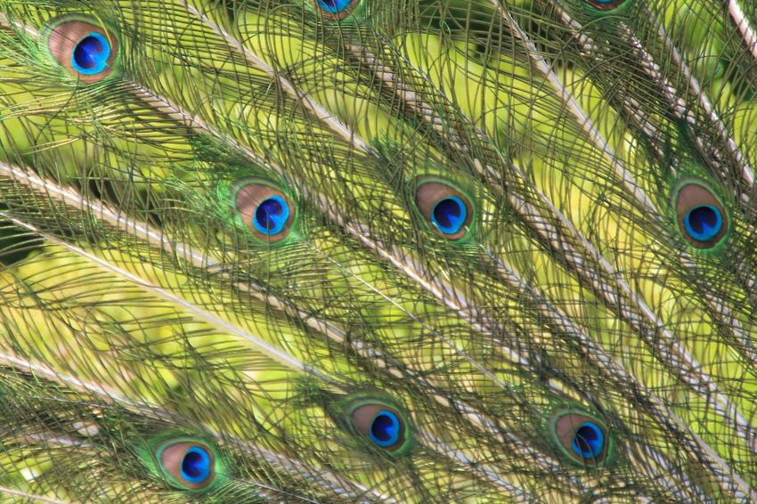 Feather  Multi Colored Full Frame Close-up Peacock Feather Bird No People Backgrounds Animal Wildlife Fragility Animal Themes Peacock Beauty In Nature Fanned Out Outdoors Day Hanging Out Enjoying Life Check This Out Taking Photos Nature Beauty In Nature Peacock Feathers Peacock Art Peacockphotos