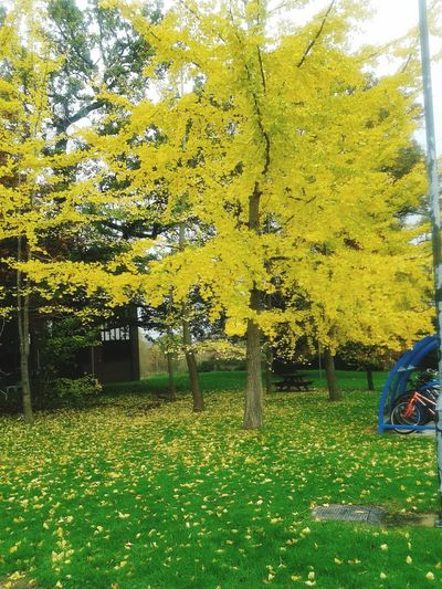 The autumn fall Yellow Leaves Greenary Walkintothenature LondonDiaries Awesome Scenary NatureAtItsBest Pleasent View