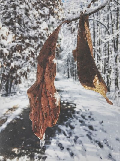 Three Time Cold Temperature Winter Snow Leaf Nature Frozen Weather Tree Autumn No People Water Focus On Foreground Beauty In Nature Outdoors Day Close-up