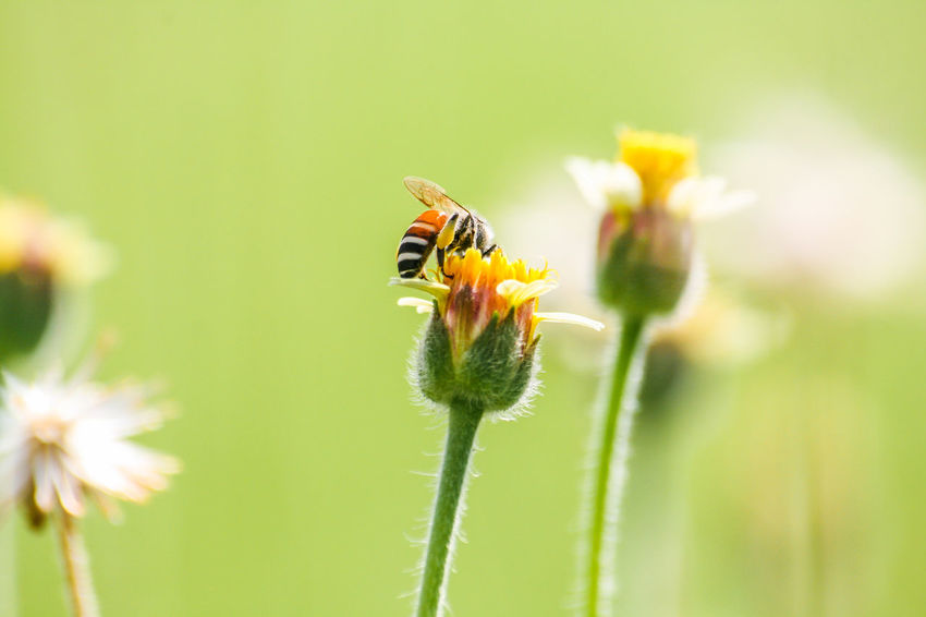 Grass flowers are food sources for bees. Animal Themes Background; Bees; Bloom; Blur; Botany; Close-up Day Environment; Flower Fragility Grass; Green; Growth Insect Insect; Meadow; Nature No People One Animal Outdoors Plant Sunny; Wallpaper; White;
