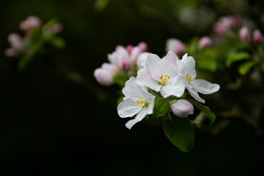 Apple Blossom Tadaa Community Apple Blossom Beauty In Nature Blossom Close-up Day Flower Flower Head Flowering Plant Focus On Foreground Fragility Freshness Growth Inflorescence Nature No People Outdoors Petal Plant Pollen Spring Vulnerability  White Color