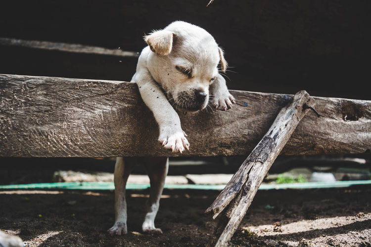 Puppy sleeping on wood