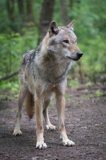 Wolf Animal Head  Animal Themes Howl Outdoors Predator Predatorinstinct Wild Wilderness Wildlife Wildlife & Nature Wildlife Photography Wolf Wood