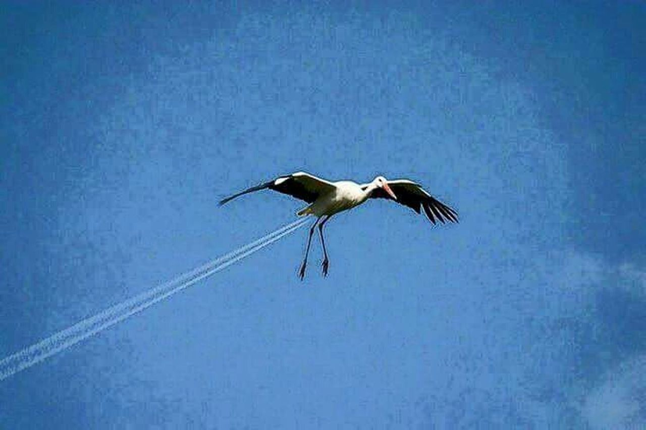 bird, animals in the wild, animal wildlife, flying, animal themes, one animal, spread wings, stork, day, blue, low angle view, white stork, outdoors, no people, nature, clear sky, sky