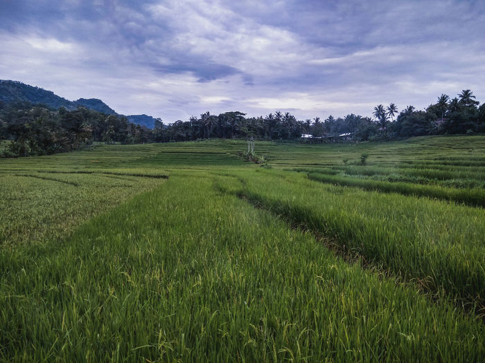 rice plants in the fields #landscape #nature #photography Flower Collection #Garden Indoors  Indonesia Photography  Hotel Room Food Spicy Thai Food View Photo Rice Dramatic Sky Planetary Moon Mash - Food State Floral Pattern