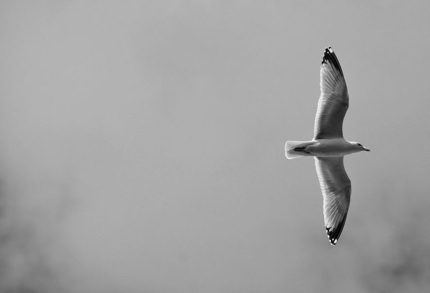 Flying Bird Monochrome Black And White In Flight Freedom Feathered Avian No People Sharp Day Thermals Wings Flight Soaring Free Beauty In Nature Flying Gull Seagull Sky Facing Right Nature Bird Sea Life Outdoors