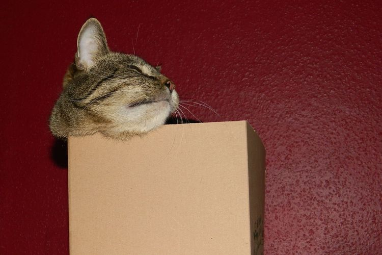 Animal Animal Body Part Animal Head  Animal Themes Authentic Moments Box Cat Cat In Box Catbox Close-up Curiosity Domestic Cat Eyeem Market Feline Funny In The Box Indoors  One Animal Pets Red Red Background Relaxation Resting Tabby Whisker