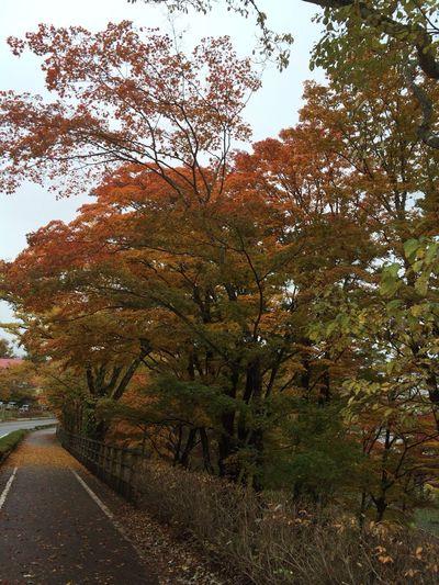 山中湖 富士五湖 紅葉 山梨