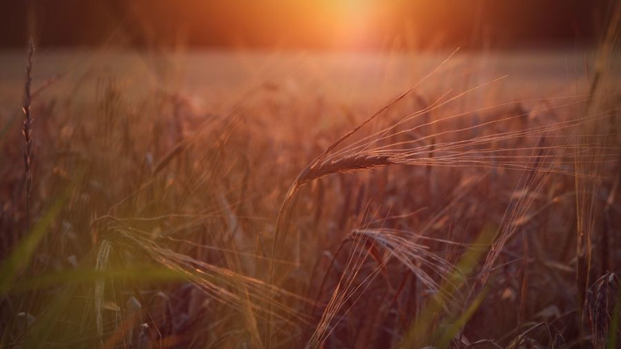 Sunrise Dusk Till Dawn Plant Cereal Plant Agriculture Nature Landscape Rural Scene Growth Land Sunlight Wheat Beauty In Nature Barley Field Sunset